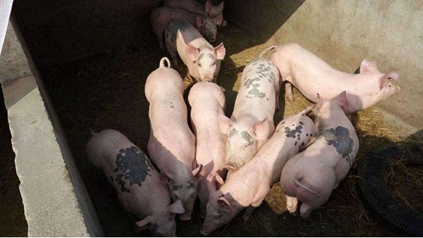 关于防止越南非洲猪瘟传入我国的公告