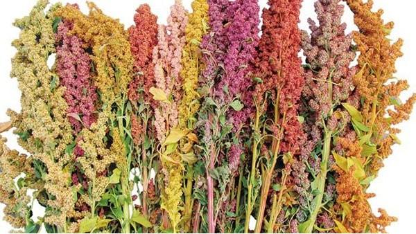 首批玻利维亚藜麦运抵天津港并顺利通关